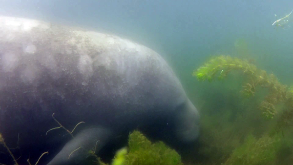 Freediving mit Manatees @ Free-Diving.de